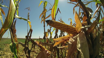 Ripe Corn Cob on Stalk