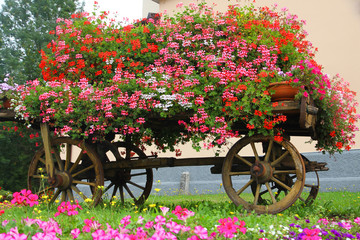 wooden wagon with many blooming Geraniums in summer in the mount