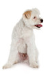 White dog on white background