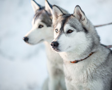 Dwa siberian husky psy portret zbliżenie