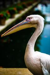 Pink pelican head