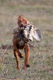 pheasant hunting poster