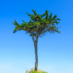 Brittany, Pine tree on blue sky background. France