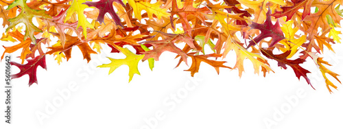 Panoramic Autumn Leaves isolated on white