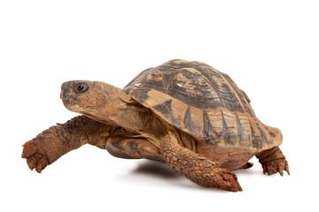 Turtle walking
