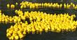 Leinwanddruck Bild - Floating yellow little ducks