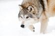 Prowling wolf