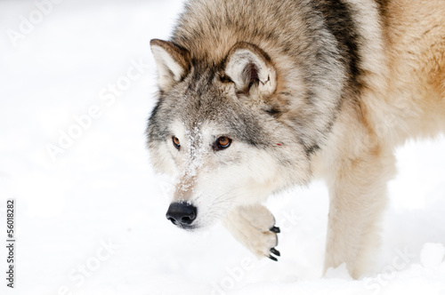 Poster Wolf Prowling wolf