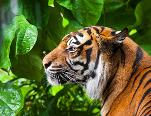 Portrait of a tiger. close-up