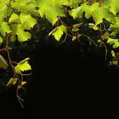Food background - fruit grape leaves