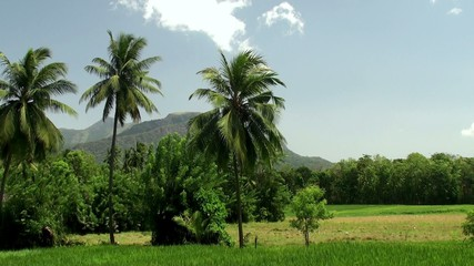 Paddy field & palms