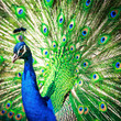Splendid peacock with feathers out (Pavo cristatus)