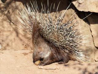 Defending porcupine portrait
