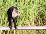 Lion-tailed macaque on the bench