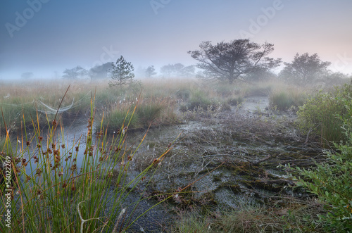 swamp and  dense morning fog