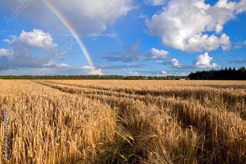 rainbow over wheat field in summer