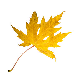 Farbe des Herbstes: Goldenes Ahornblatt