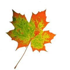 Herbst-Schönheit: Buntes Ahornblatt