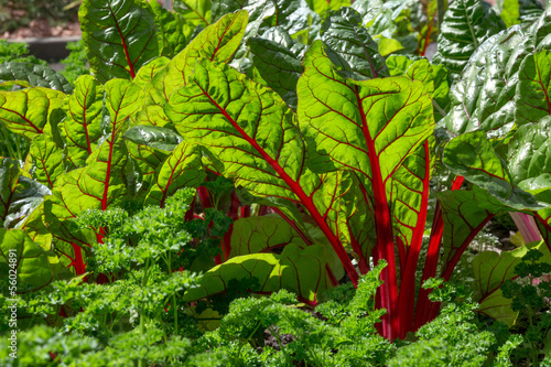 Beet leaves in sunlight
