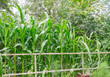 Corn growing in flower garden