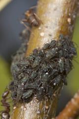 Southern wood ants, formica rufa and aphids symbiosis