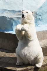 Funny polar bear sitting on its hind legs