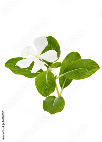 Madagascar periwinkle flower with leaf isolated on white