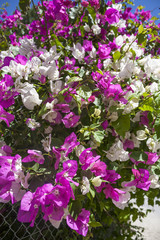 hedge of bougainvillea  with white and purple flowers