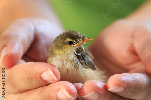 Sparrow on human hands