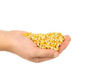 Hands holds heap of corn grain