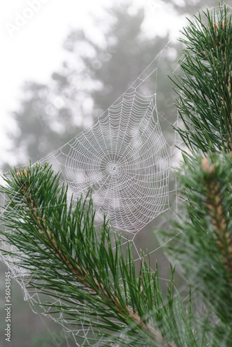 spider web on the branches of pine;