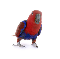 Papagei – Edelpapagei Henne