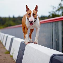 English bull terrier.