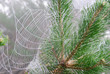 spider web on the branches of pine