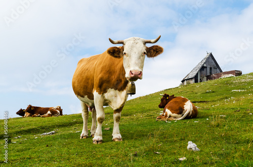 Funny cow looking at you (Velika Planina, Slovenia)