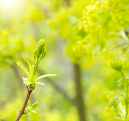 Green buds of a maple in the spring