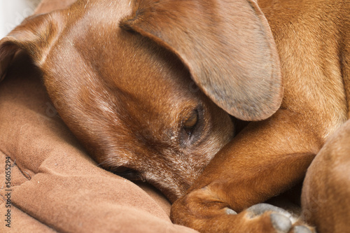 Dashshund dog