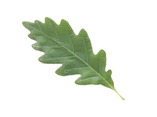 leaf of sessile oak tree