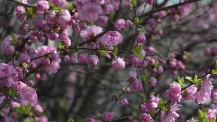 Prunus triloba var. truncata Kom. in spring, South Korea