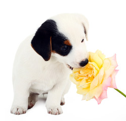 Jack Russell puppy with a big rose