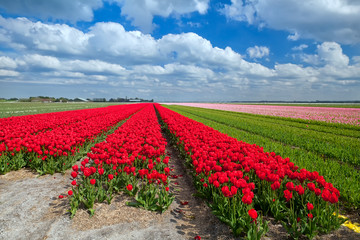 red tulip fields in spring