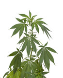 Marijuana plant isolated on white