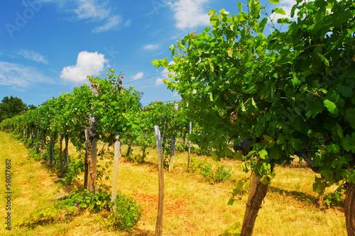vineyards in Vienna Woods
