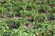 Chilischoten am Feld