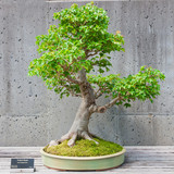 A bonsai miniature of a Trident Maple tree on display