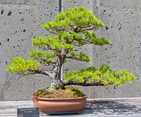 A bonsai miniature of a Japanese White Pine tree on display