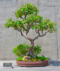 A bonsai miniature of a Chinese Quince  tree on display