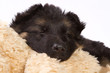 Sleeping German shepherd pup