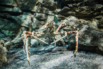 Japanese spider crab - (Macrocheira kaempferi)