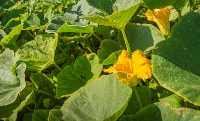 Organical cultivation of pumpkins
